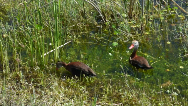 two whistling ducks with orange beaks wading in clear green water in a wetland with nature sounds - water bird stock videos & royalty-free footage
