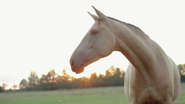 Two white horses in a field at sunset