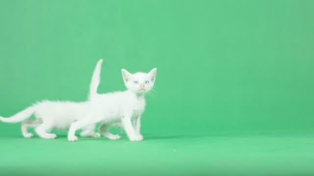 vidéos et rushes de 4k two white kitten sur un écran vert - de petite taille