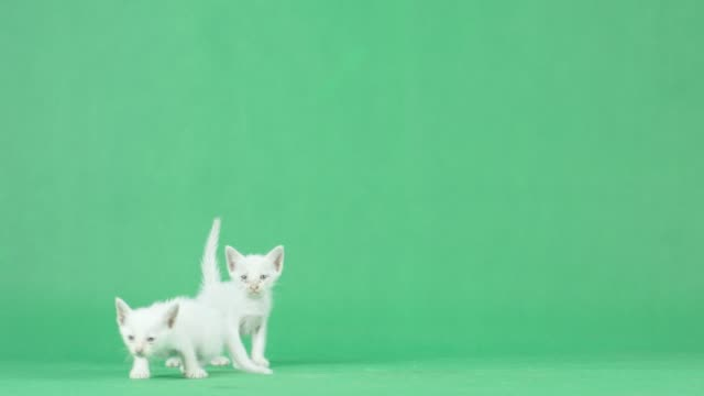 4k two white kitten on a green screen - green background stock videos & royalty-free footage