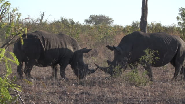 two white rhinoceros bulls aggressively fighting with their horns in dry bush, kruger national park, south africa - 戦う点の映像素材/bロール