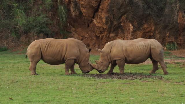 two white rhinoceros fighting. ceratotherium simum. - 角点の映像素材/bロール
