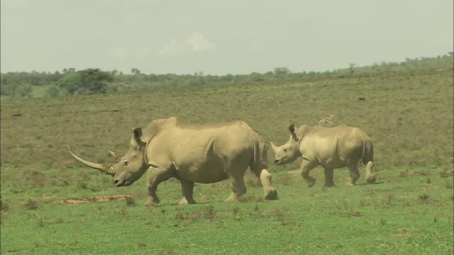 two white rhinoceros wander across the savannah.  - rhinoceros stock videos and b-roll footage