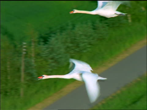 AERIAL two white swans flying over green countryside + forest / Sakskobing, Lolland, Denmark