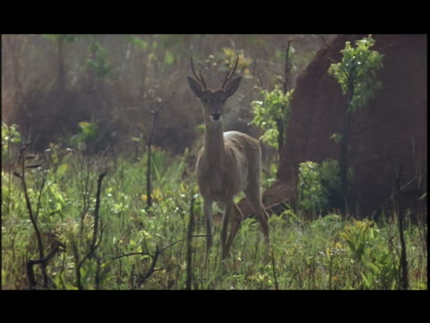 two white tailed deer run through a field after being startled. - white tailed deer stock videos & royalty-free footage