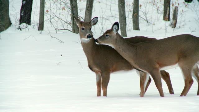 vídeos de stock, filmes e b-roll de ms zo two white tailed deers near trees during winter / madoc, ontario, canada - olhando ao redor