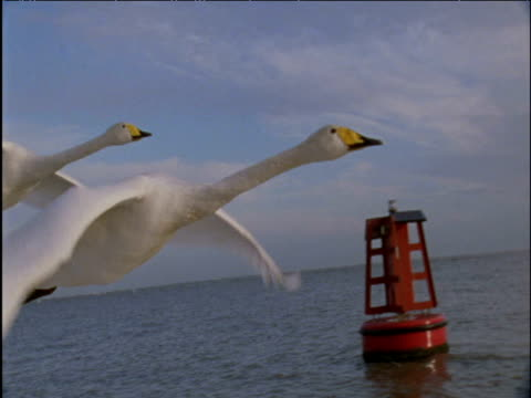 Two whooper swans fly past buoy on sea