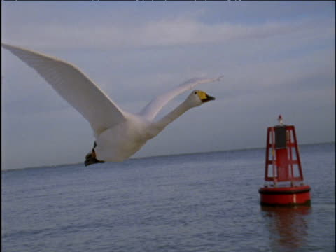 two whooper swans fly past buoy on sea - buoy stock videos & royalty-free footage