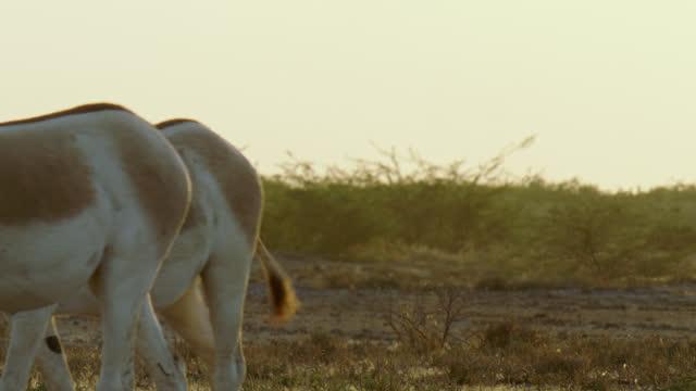 two wild ass grazing - medium close up - herbivorous stock videos & royalty-free footage