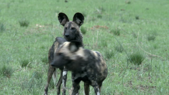 CU two wild dogs alert and getting ready to hunt in shallow riverbed, South Africa