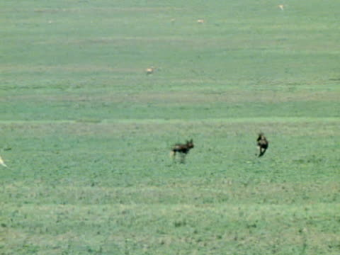 Two Wild Dogs running together on plain