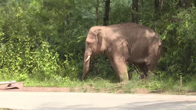 two wild elephants walk on the road on september 5 in ning'er county, pu'er city, yunan province of china. two stray wild elephants intruded into a... - elephant stock videos & royalty-free footage