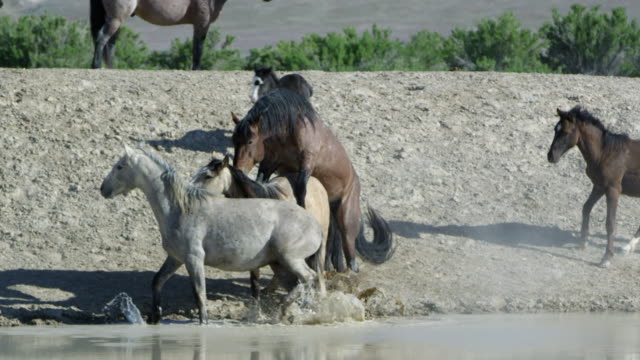 two wild horses mating as other horses seem concerned - animals in the wild stock videos & royalty-free footage