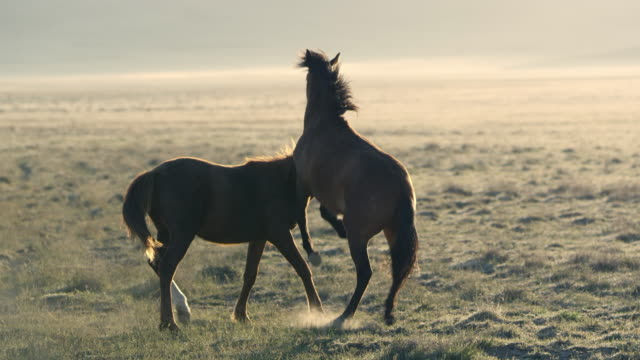 Two wild horses playing in a field with each other