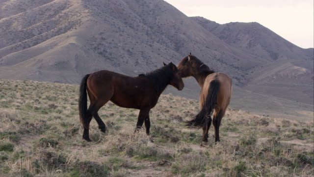 two wild horses playing on top of hill. - two animals stock-videos und b-roll-filmmaterial