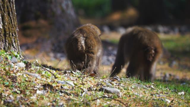 植物の葉を餌 2 つ野生のニホンザル - 猿点の映像素材/bロール