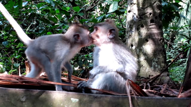Two Wild Macaque Monkeys (Macaca fascicularis) Kissing