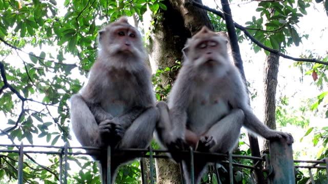 two wild macaque monkeys (macaca fascicularis) - macaque stock videos & royalty-free footage