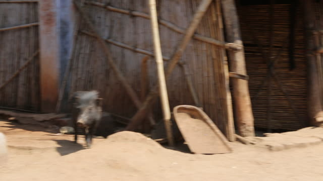 CU PAN ZO of two wild pigs on the ground in front of a clay hut with a tiled rood in a rural area of the village Satia a small settlement 300...