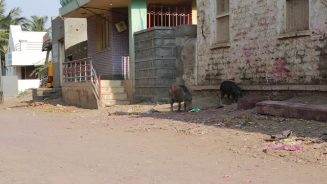 pan of two wild pigs that are combing through a pile of trash on a street outside a building on march 29 2013 in bijapur india these socalled garbage... - れんが造りの家点の映像素材/bロール