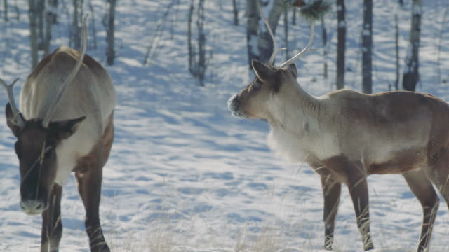 vidéos et rushes de two wild reindeer (woodland caribou) approach through the woods - caribou