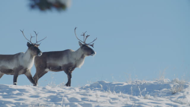 two wild reindeer (woodland caribou) stand proud - mammal stock videos & royalty-free footage