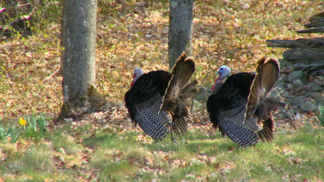 MS PAN Two wild turkeys displaying wings in spring / Madoc, Ontaria, Canada