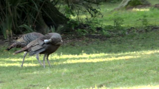 2 つの野生の七面鳥 - 家禽点の映像素材/bロール