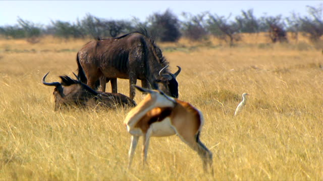 two wildebeest and a spring bok/ entabeni private game reserve/ south africa - antelope stock videos & royalty-free footage