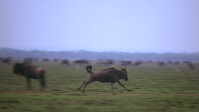 two wildebeests run across a field in the ngorongoro conservation area. - land stock videos & royalty-free footage