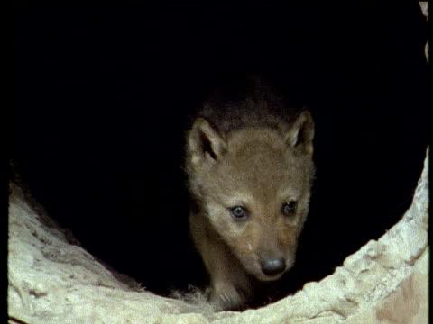 vidéos et rushes de two wolf cubs emerge from den. - terrier création animale