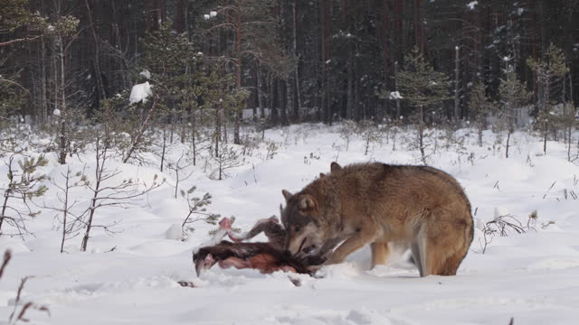 two wolves - and dead red deer, running in the snow and winter forest, belarus - animals in the wild stock videos & royalty-free footage