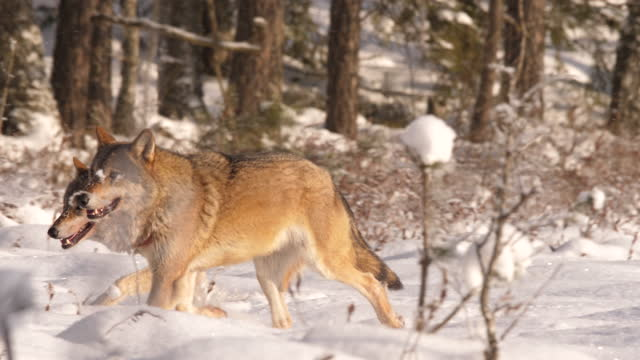 two wolves and hare, winter forest, belarus - named wilderness area stock videos & royalty-free footage