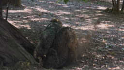 Two Wolves digging at the root of a tree, with the mating ritual