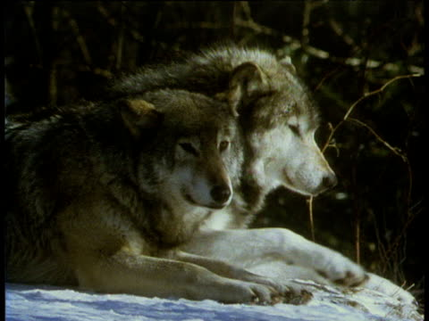 two wolves lying side by side in profile a third wolf joins them - sdraiato video stock e b–roll