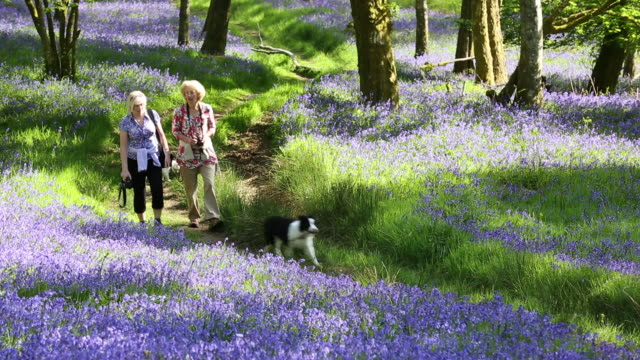 Two woman walking along a path through woodland carpetted with Bluebells at Brathay, near Ambleside, Lake District National Park, Cumbria, UK, in Spring.