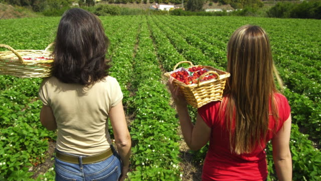 MS DS Two women carrying baskets walking through rows of woodland strawberries and looking back at camera / Malaga, Spain