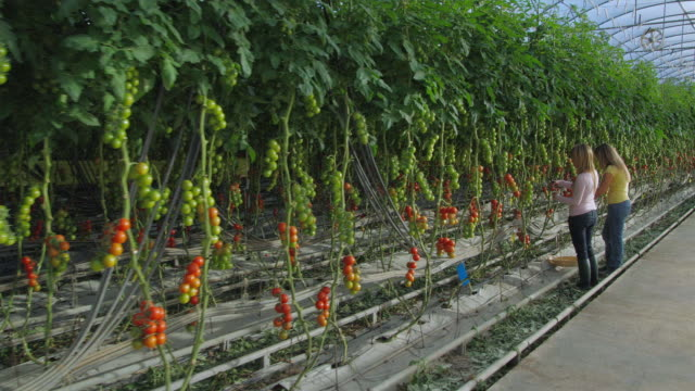vidéos et rushes de ws pov two women harvesting tomato in greenhouse / malaga, spain - spain