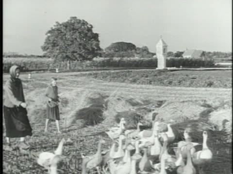 Two women herding geese Cross of Lorraine on top of bell tower LIVESTOCK VS Cattle walking open field small herd into stream w/ bridge BG VS People...