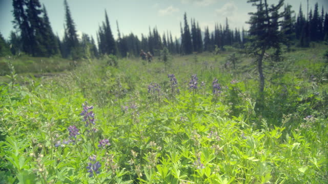 ws pan two women hiking through meadow, garibaldi provincial park, squamish, british columbia, canada - garibaldi park stock videos & royalty-free footage