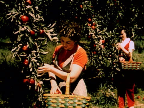 1960 montage ms two women picking apples from tree / two women picking peaches from treet / usa - peach stock videos & royalty-free footage
