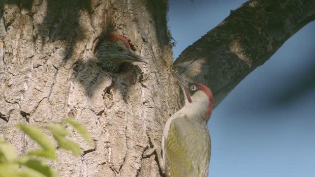 två hackspettar på ett träd på i ett hål och en utanför - bo bildbanksvideor och videomaterial från bakom kulisserna