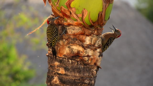 two woodpeckers search and forage for food on a palm tree. - hispaniola stock videos & royalty-free footage