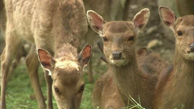 vídeos de stock, filmes e b-roll de two yakushika deer rest alongside another member of the herd grazing on grass. - manada