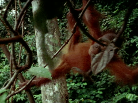"""two year old & mother orangutan in tree. baby approaching, playing w/ """"fritz"""" in tree, hanging upside down. baby orangutan hanging upside down on... - pair stock videos & royalty-free footage"""