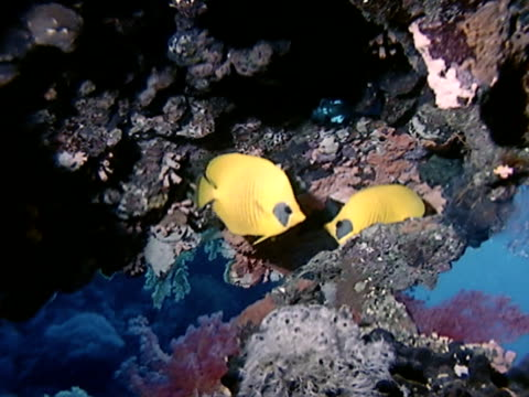 two yellow butterfly fish in coral reef overhang reef bg - butterflyfish stock videos & royalty-free footage