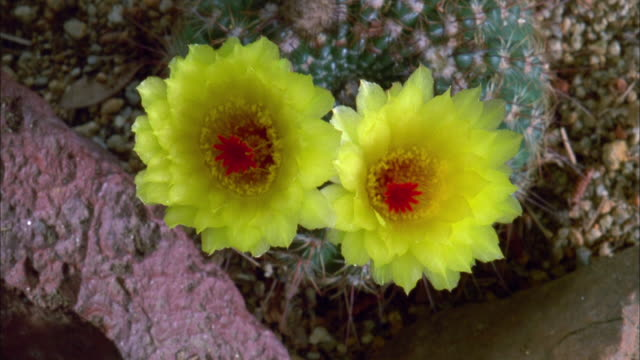 two yellow cactus flowers blossoming revealing red centres available in hd. - flowering cactus stock videos & royalty-free footage