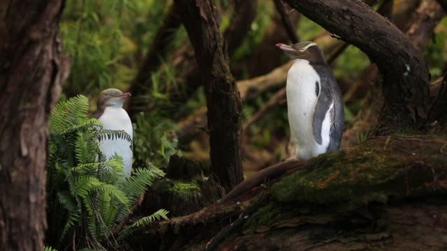 two yellow eyed penguins in rata forest, enderby island - animals in the wild stock videos & royalty-free footage