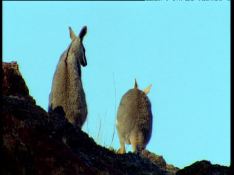 two yellow footed wallabies against blue sky, one hops away, flinders range, australia - chroma key stock videos & royalty-free footage