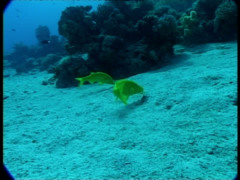 ms two yellow goatfish on sea bed - triglia tropicale video stock e b–roll